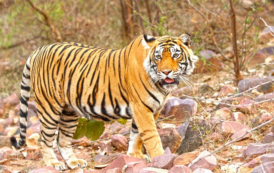 Ranthambore National Park- Rajasthan