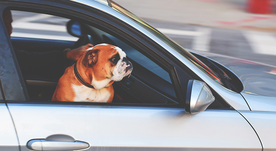 Get-your-pet-used-to-driving-around