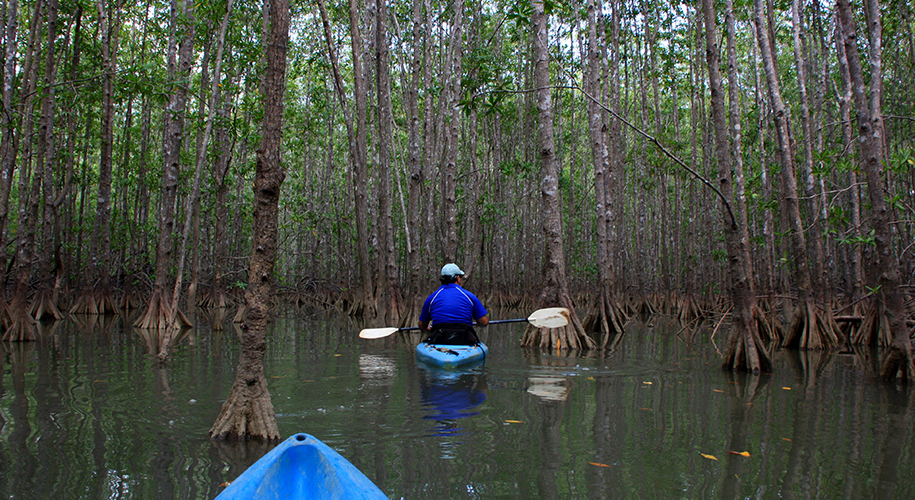 Kayaking amidst Mangroves