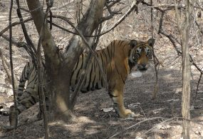 Best National Parks for Tiger-Spotting in India